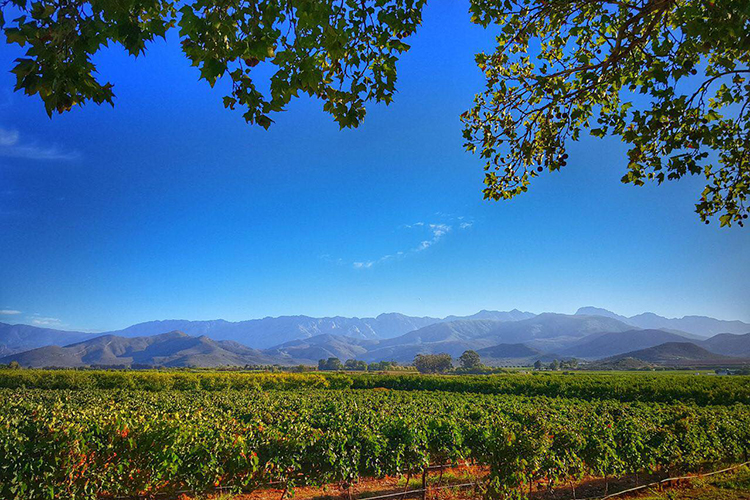 Vineyards | Guesthouse Accommodation in the Heart of Robertson | Wederom